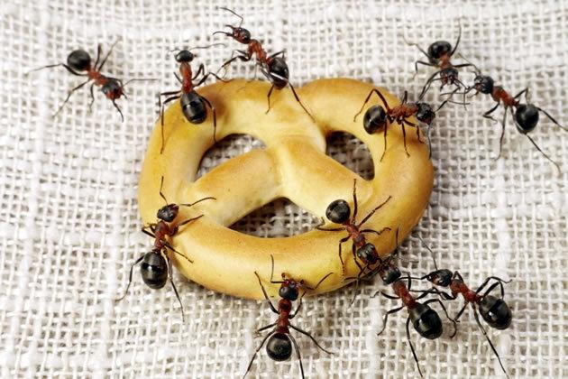 Formigas em alimentos