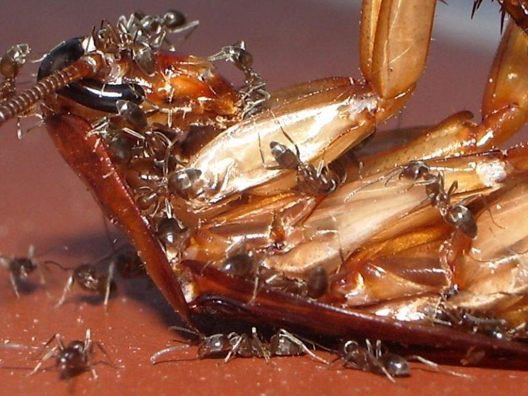 Formigas se alimentando