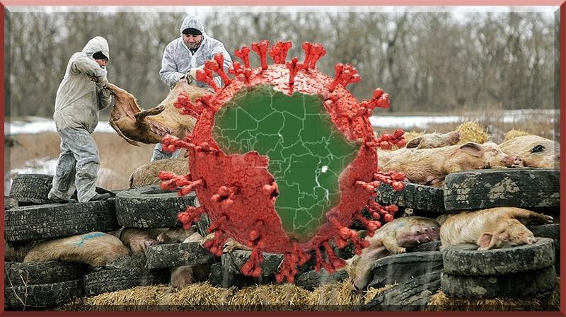 A peste suína africana pode ter tornado COVID-19 mais provável...