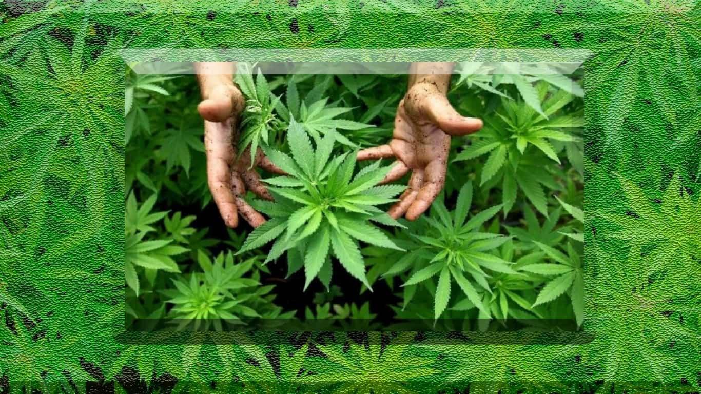 Estudo sugere frequência e gravidade de reações negativas à Cannabis