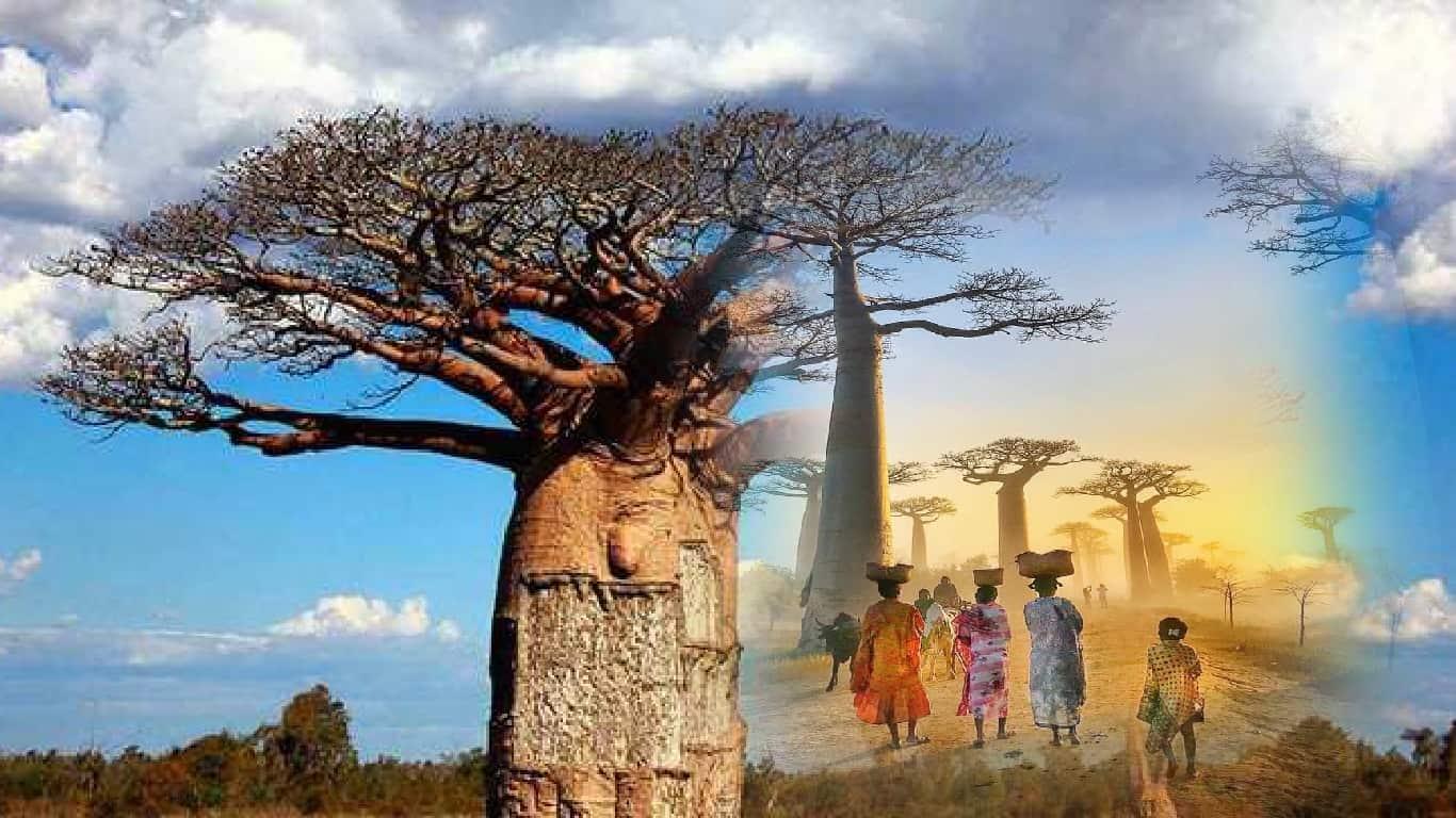Genética da árvore da vida: 'Baobá'
