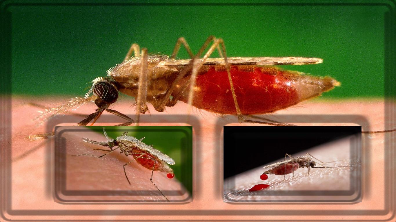 Malária : Você sabe algo sobre a Malária?