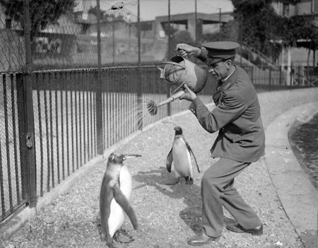 Funcionários dando banho em pinguins - 1930