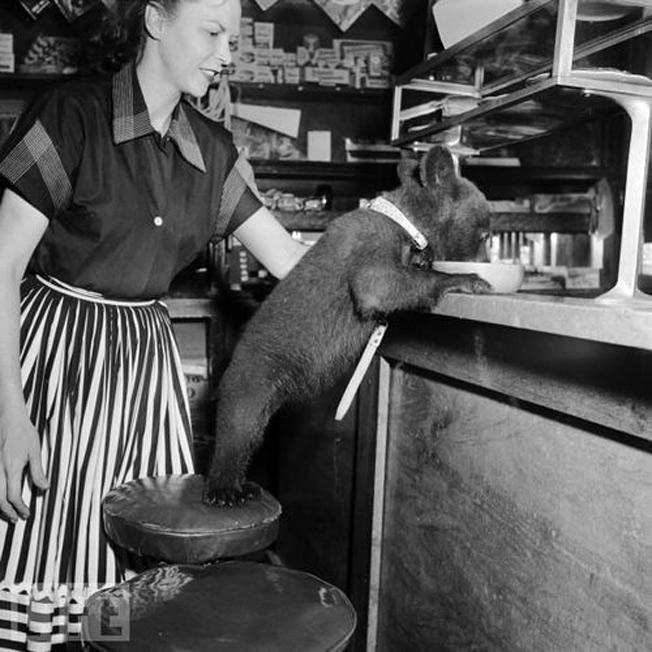Um bebê-urso tomando café da manhã 1950