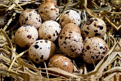 Ovos - Codorna - Foto 1
