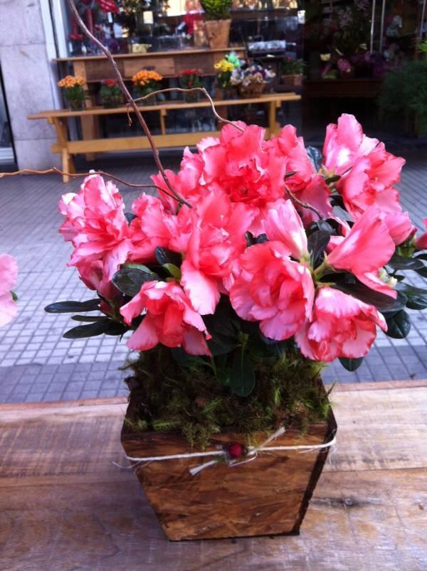f3ac3c213 Azaleia - Flora Copo de Leite Ltda