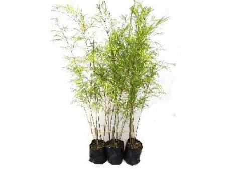 Bambuza - Phyllostachys aurea