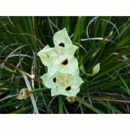 Moreia amarela - Dietes Bicolor/moreia amarela