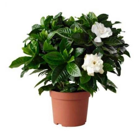 Jasmim do cabo - Gardenia jasminoides