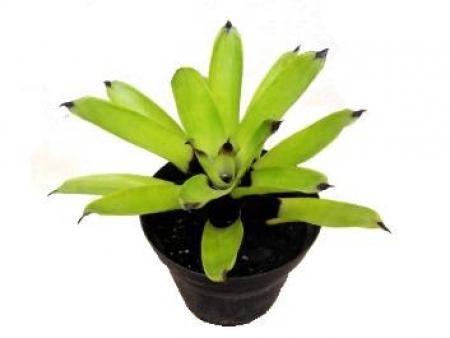 Bromelia porto seguro - Achmea blanchetiana