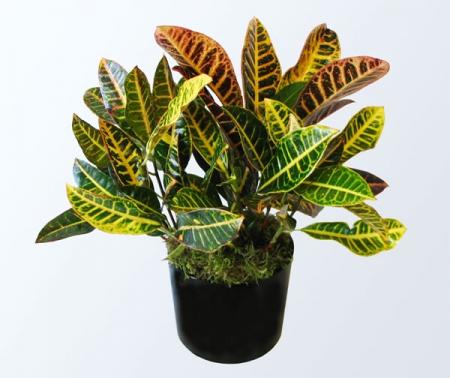 Cróton - Codiaeum variegatum
