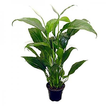 Spatifilus - Spathiphillum cannifolium