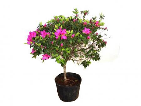 Azaléia - Rhododendron