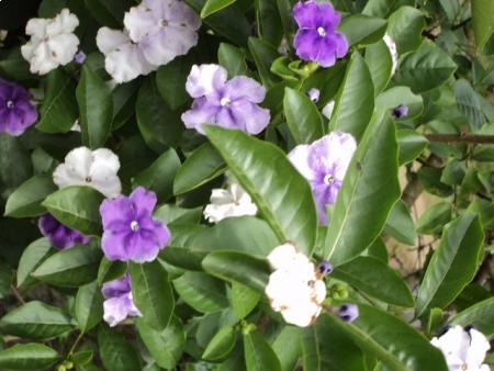 Manacá-de-cheiro - Brunfelsia uniflora