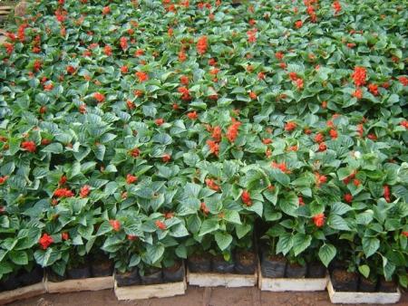 Salvia - Salvia splendens