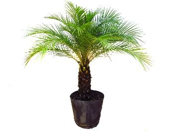 Palmeira Fênix - Nome Científico: Phoenix roebelenii