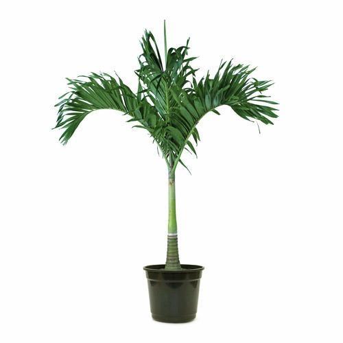Palmeira Veithia