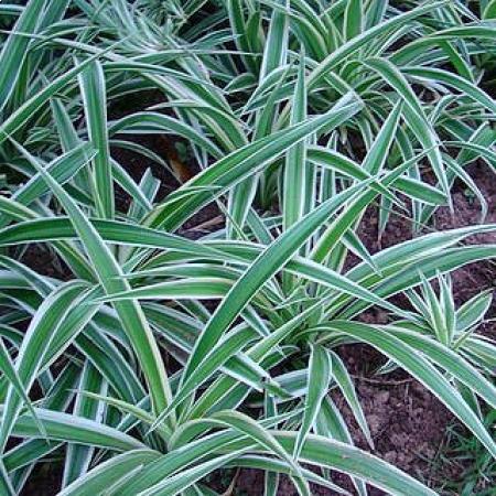 Clorofito - Clorophytum comosum