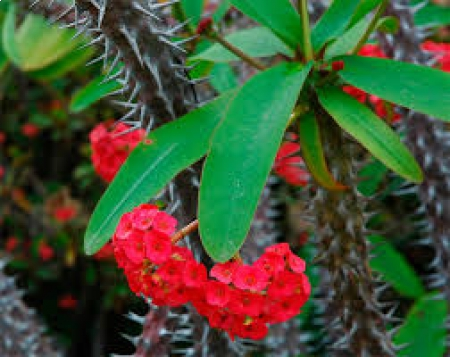 coroa de cristo - Euphorbia milii
