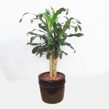 Dracena pau dágua - dracaena fragrans