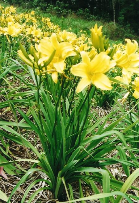Lírio amarelo Hemerocallis flava