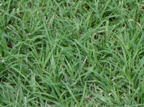 Bermuda Grass Types Florida~ Grama Sintetica Decorativa Belo Horizonte